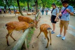Nara Japan - Juli 26, 2017: Oidentifierat folk som ser lösa hjortar i Nara, Japan Nara är en viktig turismdestination Fotografering för Bildbyråer