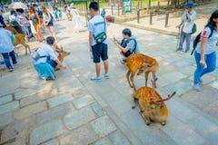 Nara Japan - Juli 26, 2017: Oidentifierat folk som tar bilden av en härlig lös hjort i Nara, Japan Nara är ett viktigt Fotografering för Bildbyråer