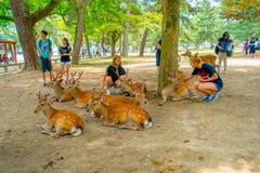 Nara Japan - Juli 26, 2017: Oidentifierat folk som trycker på lösa deers i Nara, Japan Nara är en viktig turismdestination Royaltyfria Bilder