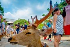 Nara Japan - Juli 26, 2017: Stående av en härlig lös hjort med lite flickan bakom i Nara, Japan Nara är ett viktigt Arkivfoto