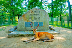 Nara, Japan - July 26, 2017: Beautiful wild deer resting in Nara Park in front of an informative sign in stone, in Nara Royalty Free Stock Image