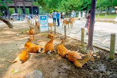 Nara, Japan - July 26, 2017: Unidentified people walking around and some wild deers, resting in a wet ground in Nara Royalty Free Stock Photo