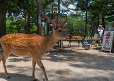 NARA, JAPAN - MAY 31, 2016: Tourists feeding deer cookie to the Stock Photo