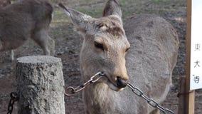 Nara, Japan Rotwildsnäcke auf geschmackvoller Metallkette stock footage