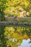 Nara Park fotografie stock libere da diritti