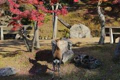 The NARA Park deer Autumn Laves Japan. A NARA Park deer Autumn Laves Japan Royalty Free Stock Photos