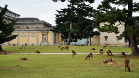 Nara park and deer. Nara, park in front of the museum with deer and fawns Stock Photos