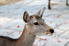 Nara Park Deer. Head shot of a yound deer roaming freely in Nara, Japan royalty free stock photography