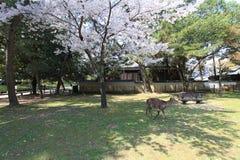 Nara Park, Giappone Fotografie Stock