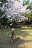 Nara Park, Japão Foto de Stock