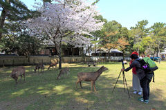 Nara Park, Japão Fotografia de Stock