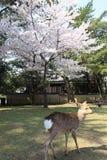 Nara Park, Japón Imagen de archivo