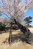 Nara Park, Japón Fotos de archivo libres de regalías