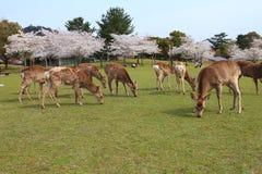 Nara Park, Japón Foto de archivo libre de regalías