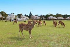 Nara Park Japan arkivfoto
