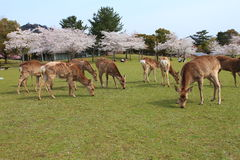 Nara Park,Japan Royalty Free Stock Photo