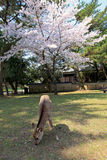 Nara Park, Japon Photo stock