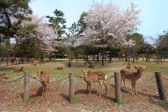Nara park, Japonia Fotografia Royalty Free
