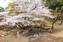 Nara park, Japonia Zdjęcia Royalty Free