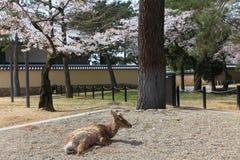Nara park, Japonia Zdjęcia Stock