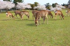 Nara park, Japonia Fotografia Stock