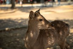 Nara Nara Prefecture, Japan: Gulliga Sika hjortar i Nara Park Arkivfoto