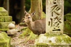 Nara rogacz Fotografia Royalty Free