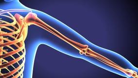 Naramiennego złącza anatomii bólu pojęcie z Krążeniową podkreślającą strefą - bólowy pojęcie ilustracji