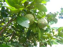naranja amarga tropical 1 Imagen de archivo