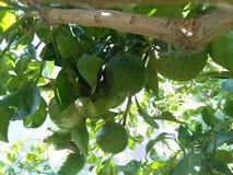 naranja amarga tropical 3 Imagen de archivo libre de regalías