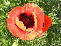 Naranja de la amapola Imagen de archivo