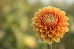 Naranja de la dalia de la flor Fotografía de archivo libre de regalías