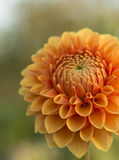 Naranja de la dalia de la flor Imagenes de archivo