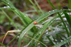 Naranja de la mariquita, de diez puntos El sentarse en la hierba de prado En el cuerpo las gotas de la lluvia Coccinellidae latin Fotos de archivo