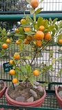 Naranja de los bonsais fotos de archivo libres de regalías
