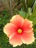 Naranja del cayena de la flor Fotos de archivo libres de regalías