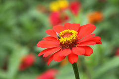 Naranja del color de la flor del Zinnia en jardín Fotografía de archivo libre de regalías