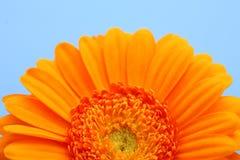 Naranja del detalle del fower de la floración Foto de archivo libre de regalías
