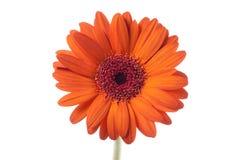 Naranja del Gerbera Fotografía de archivo libre de regalías