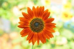 Naranja del girasol Imagen de archivo libre de regalías