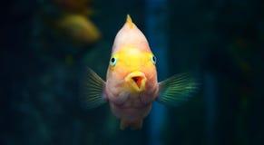Naranja del pez papagayo Fotos de archivo libres de regalías