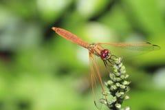 Naranja drangonfly Fotos de archivo