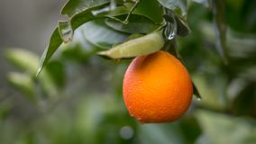 Naranja en el miembro de árbol en Sicilia Foto de archivo