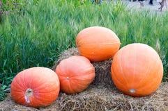 Naranja fresca de la calabaza de la cosecha en la granja foto de archivo