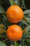 Naranja fresca en la planta, árbol anaranjado Fotos de archivo libres de regalías
