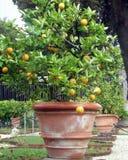 Naranja fresca en la planta, árbol anaranjado árbol anaranjado del pote Fotos de archivo