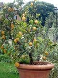 Naranja fresca en la planta, árbol anaranjado árbol anaranjado del pote Imágenes de archivo libres de regalías