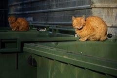 Naranja, gatos perdidos sin hogar que mienten en el envase de la basura Foto de archivo libre de regalías