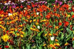 Naranja hermosa, flores amarillas, rosadas en tiempo soleado en Holanda foto de archivo