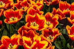 Naranja hermosa, tulipanes rojos en tiempo soleado en Holanda foto de archivo